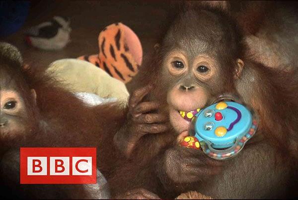 BBC : Orangutans in the haze