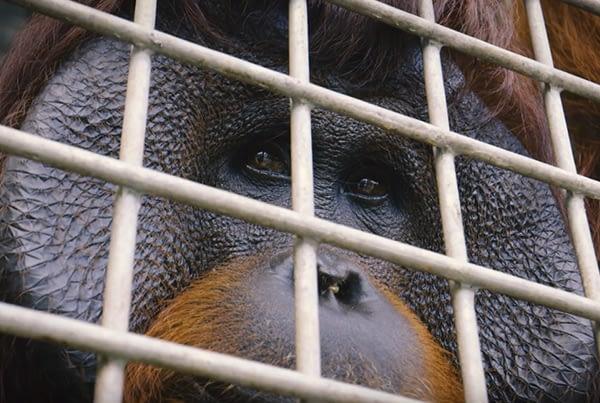 #OrangutanFreedom: Teaser 3