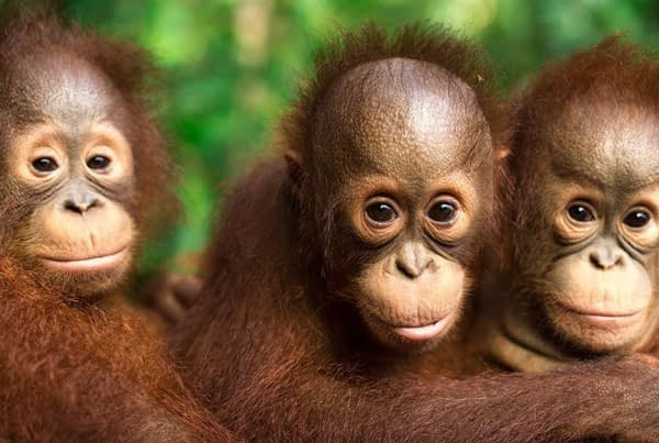 Orangutan Jungle School – New Season Trailer