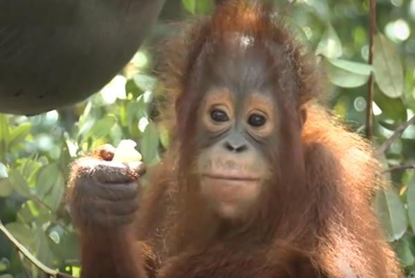 Dokumentar om Red Orangutangens