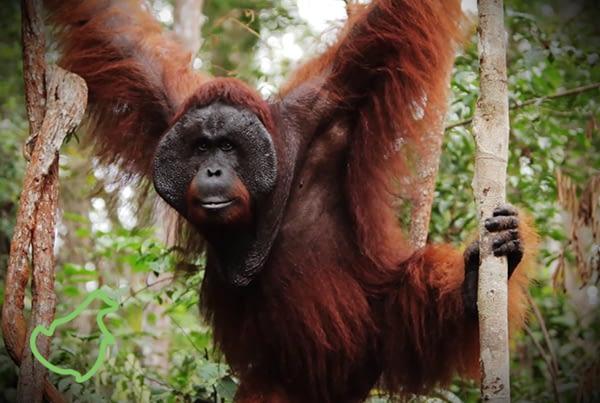 Orangutan Odysseys